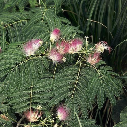 Albizia Julibrissin Summer Chocolate Purple Silk Tree