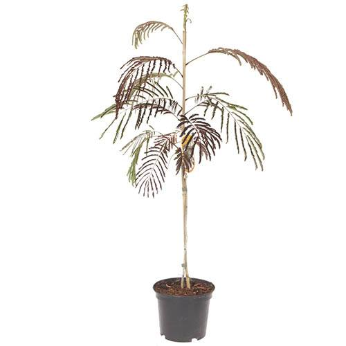 Albizia Summer Chocolate 3L