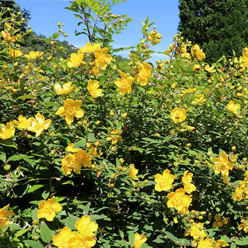 Summer Flowering Hardy Shrub collection