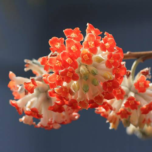 Edgeworthia chrysantha Red Dragon - Paperbush
