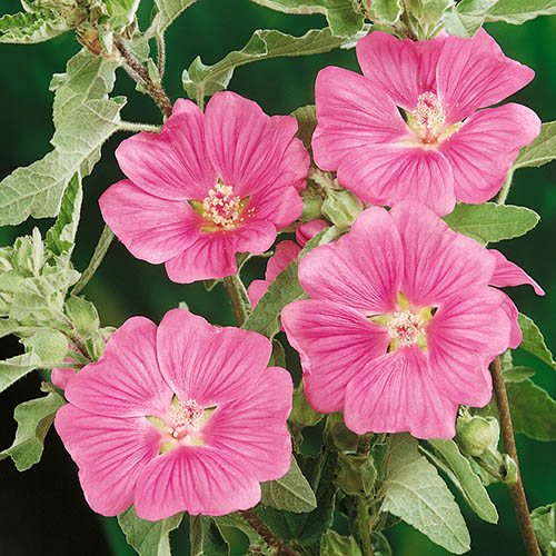 Pair of Hardy Flowering Mallow Lavatera