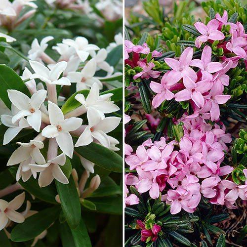 Hardy Fragrant Daphne Collection - Pink Fragrance & Eternal Fragrance