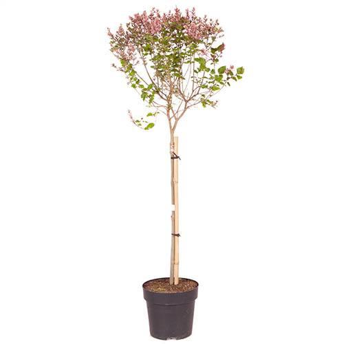 Lilac Syringa Josee Standard