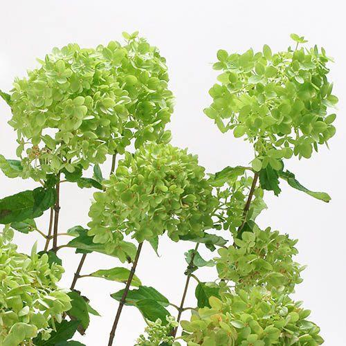 Hydrangea paniculata Little Lime standard