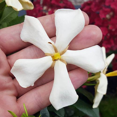 Gardenia Pin Wheel