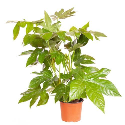 Caster Oil Plant Fatsia japonica