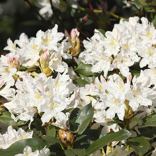 Rhododendron Madam Masson