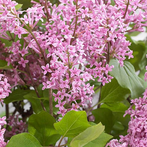 Syringa Flowerfesta Pink