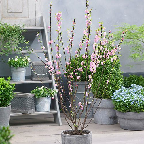 Prunus triloba Rosemund
