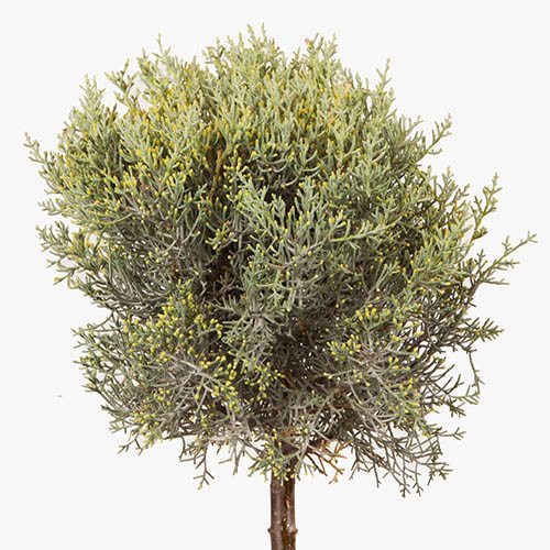 Blue Arizona Cypress Cupressus arizona fastigiata Mini Standard 10L