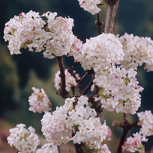 Winter Flowering Fragrant Shrub collection