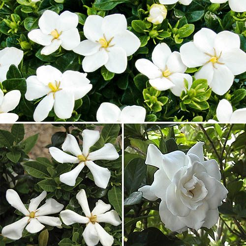 Hardy Gardenia Collection