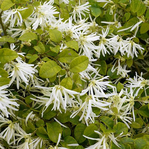 Loropetalum chinense Carolina Moonlight