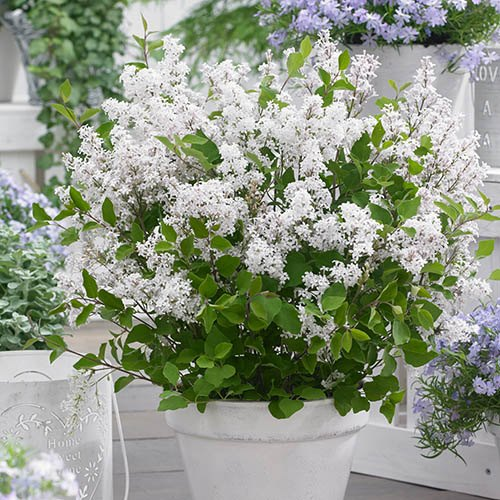Syringa Flowerfesta Collection