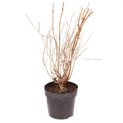 Hydrangea arborescens Lime Rickey