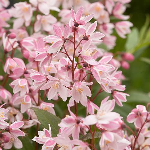 Deutzia 'Yuki Cherry Blossom