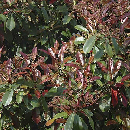 Evergreen Shrub Hedge Mix