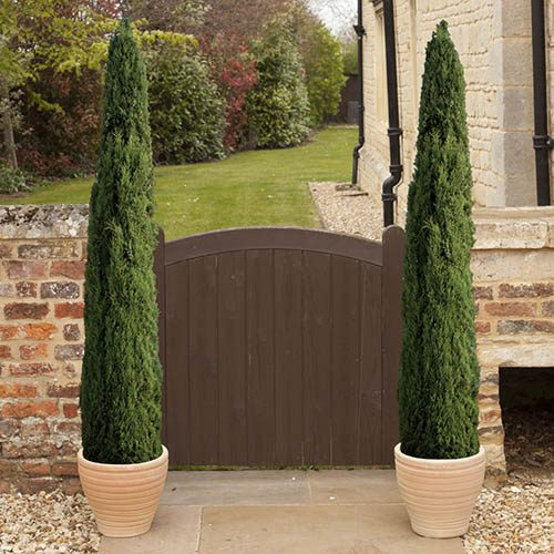 Pair of Italian Cypress Trees Cupressus sempervirens