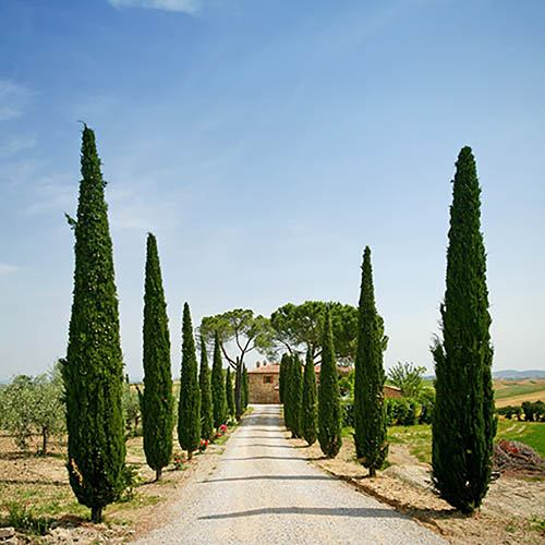 Pair of Italian Cypress trees