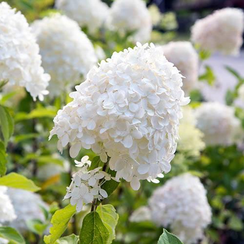 Hydrangea paniculata Collection