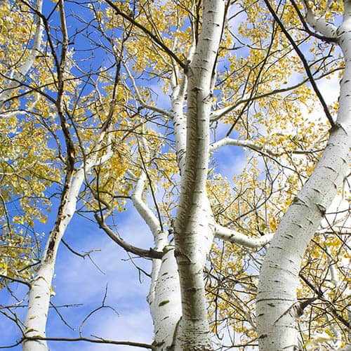 Betula pendula (Silver Birch) 1L potted