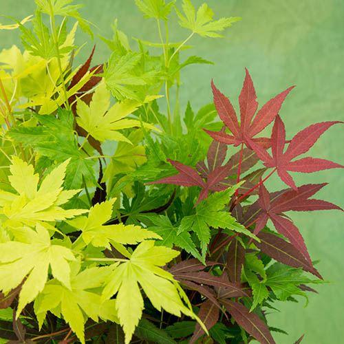 Japanese Acer palmatum 'Festival' Mix