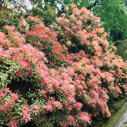 Pieris Evergreen Collection
