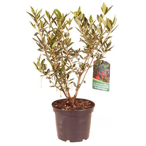 Crinodendron hookerianum 2L