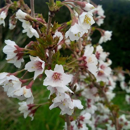 Japanese Blossom Cherry Prunus Kojo-No-Mai