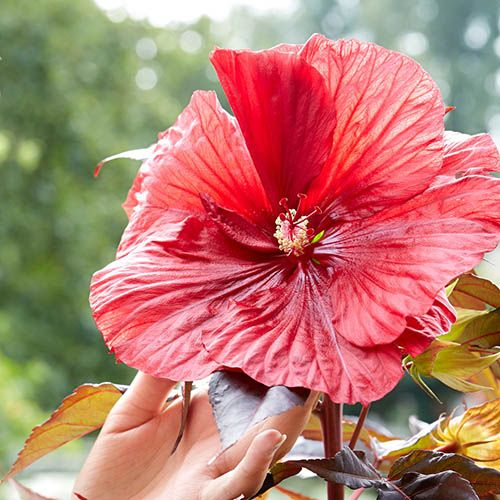Hibiscus moscheutos Carousel (R) Geant Red