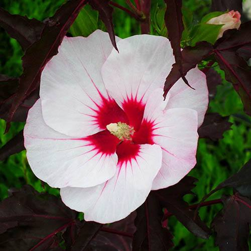 Hardy Hibiscus moscheutos Carousel (R) Jolly Heart plant in 2L pot