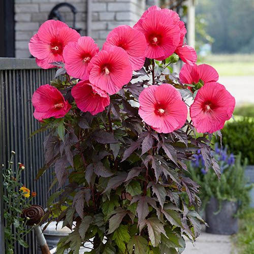 Hibiscus moscheutos Carousel (R) Pink Passion in 2L pot