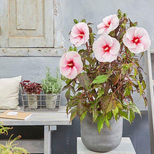 Hibiscus moscheutos Carousel (R) pair