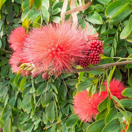 Calliandra surinamensis Dixie Pink - Powder Puff Tree