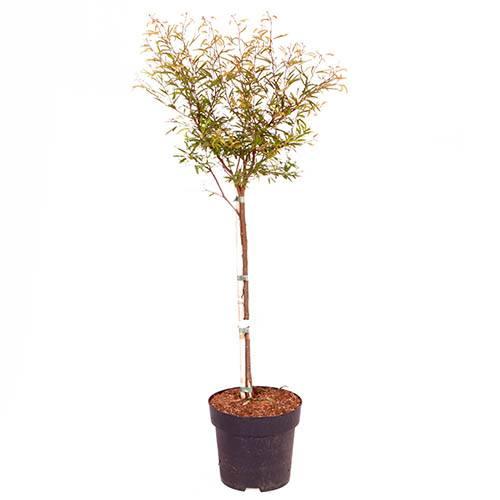 Calliandra surinamensis Dixie Pink - Powder Puff Tree