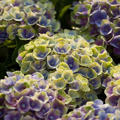 Hydrangea Magical Revolution Blue