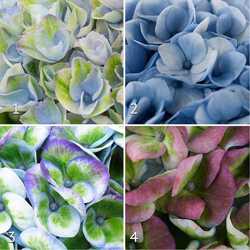 Hydrangea Magical Revolution Collection x 3 Plants