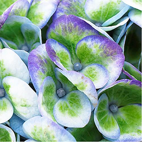 Hydrangea Magical Revolution Collection x 3 Plants