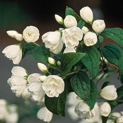 Mock Orange Philadelphus Snowbelle