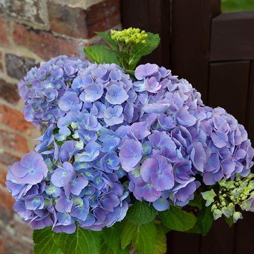 Hydrangea Standard - Blue