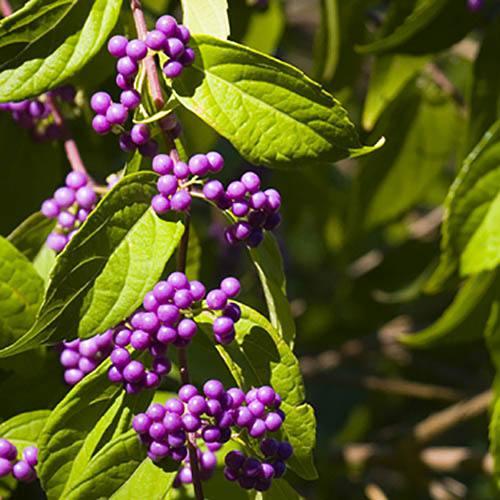 Callicarpa Profusion Beauty Berry