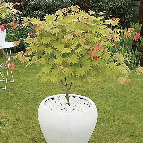 Acer shirasawanum Moonrise