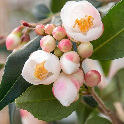 Camellia rosthorniana Cupido