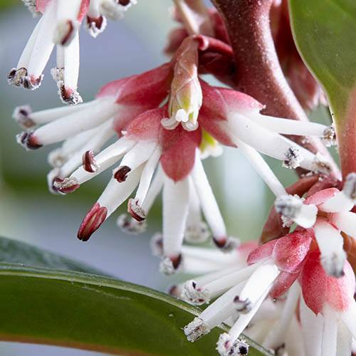 Sarcococca hookeriana Winter Gem