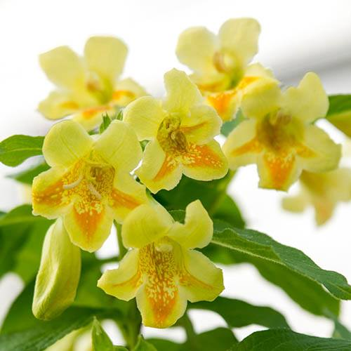 Weigela middendorffiana Mango in a 3L Pot