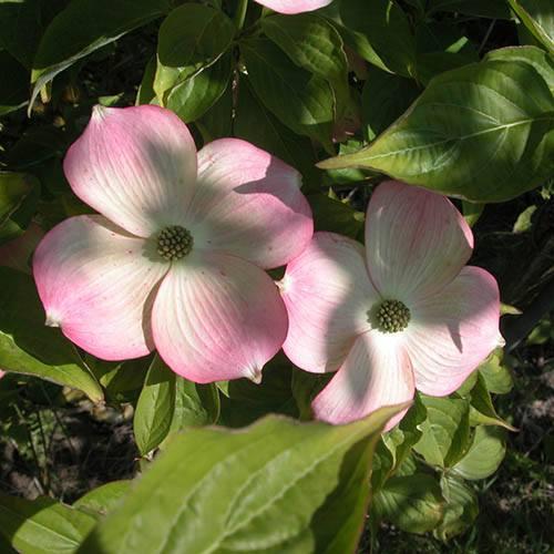 Cornus rutgerensis Stellar Pink potted 5L