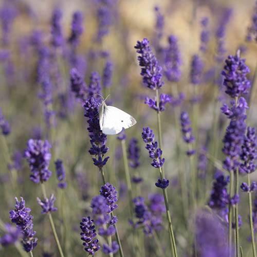 Lavender Munstead 3L standard