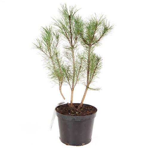 Pinus mugo Pumilio 2L Conifer