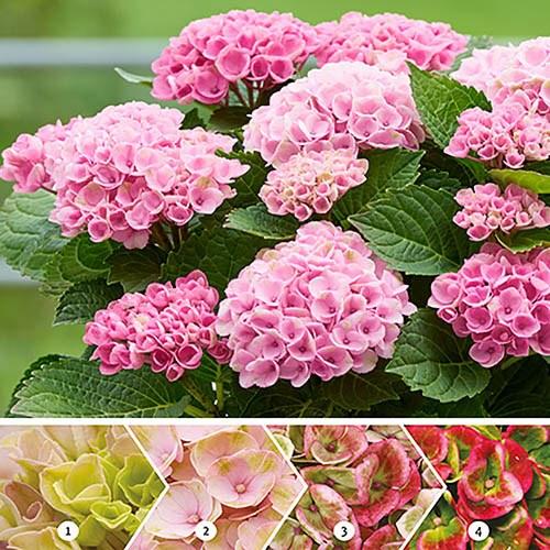 Hydrangea Magical Revolution Pink