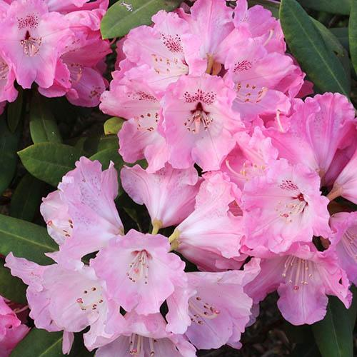 Rhododendron Pink Lady